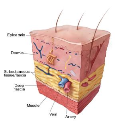 A view of normal skin layers --Encompass HealthCare and Wound Medicine, Michigan
