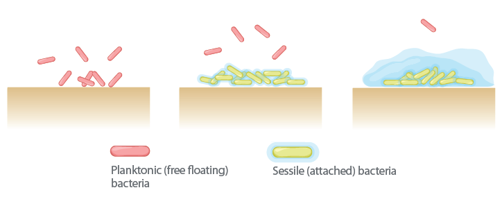 stages of biofilm formation